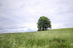 Луг весны с деревом Стоковые Фотографии RF