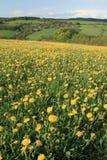 Луг весны с желтыми одуванчиками стоковые изображения