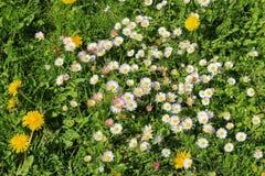Луг весны с одичалыми маргаритками Стоковые Фото