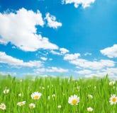 Луг весны с цветками стоцвета стоковые фотографии rf