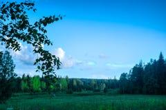 Луг ветви березы ландшафта лета в Стоковое Изображение RF