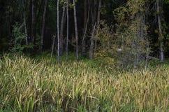 Луг вполне Cattails в лесе стоковые изображения rf