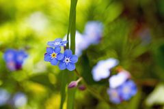 Луг вполне голубых маленьких цветков - незабудки (caespitosa Myosotis) Стоковое фото RF