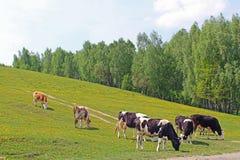Луг вполне одуванчиков с пасти коров Стоковые Изображения RF