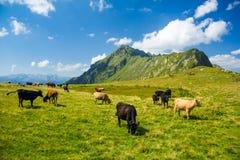 Луг гористой местности с пасти коров Стоковая Фотография RF