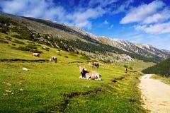Луг горы с коровами Стоковое фото RF