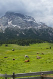 Луг горы травы с коровами Стоковые Изображения