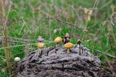 Луг гриба на соре ` s коровы Стоковые Изображения
