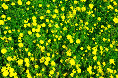 Луг желтых цветков среди зеленой травы Смогите быть использовано как b Стоковая Фотография