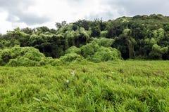 Луг и лес предусматриванные в Mikania стоковые фото