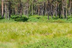Луг и сосновый лес Cottongrass стоковая фотография rf