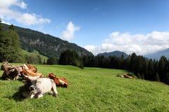 Луг коровы в Германии Стоковые Фотографии RF