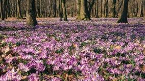 Луг крокуса цветет весной лес Стоковые Фото