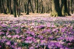 Луг крокуса цветет весной лес Стоковая Фотография RF