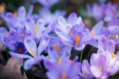 Луг крокуса цветет весной лес Стоковое Изображение RF