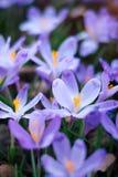 Луг крокуса цветет весной лес Стоковые Изображения
