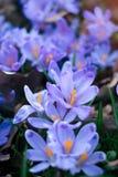 Луг крокуса цветет весной лес Стоковое Изображение