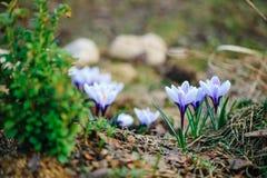 Луг крокусов красивой весны фиолетовый Стоковое Изображение