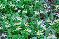 Луг крупного плана белых цветков лилии пыжика Стоковые Изображения
