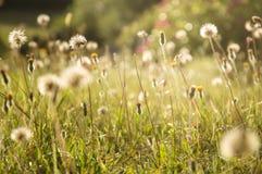 Луг лета художнически запачканный с полевыми цветками и одуванчиками выделил солнцем вечера стоковые фотографии rf