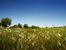 Луг, оливковые дерева и голубое небо Стоковая Фотография