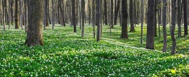 Луг покрытый с белыми первоцветами Стоковое Фото
