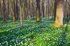 Луг покрытый с белыми первоцветами Стоковые Изображения RF