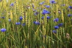 Луг, пшеница, cornflower, синь, зеленый цвет, природа стоковые изображения rf