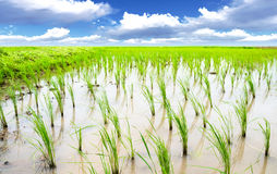 Луг риса Стоковое фото RF