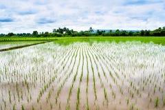 Луг риса Стоковые Изображения