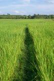 Луг риса Стоковое Изображение