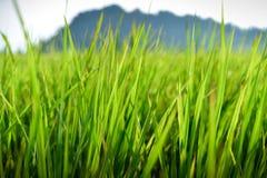 Луг рисов Стоковое Изображение
