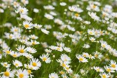 Луг стоцвета или маргаритки вол-глаза Стоковое Фото