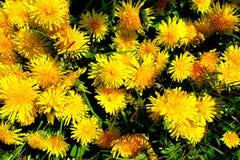 Луг с желтыми цветками - одуванчик весны Размещенный внутри трава множественные и одиночные цветки 11 Стоковые Изображения