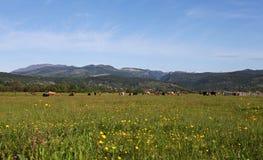 Луг с коровами вдоль дороги в Румынии Стоковые Фотографии RF