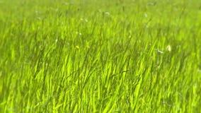 Луг травы на ветреный день акции видеоматериалы
