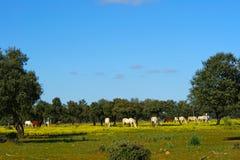 Луг дубов с лошадями Стоковое Фото