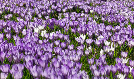 Луг фиолетовых и белых цветков крокуса Стоковые Изображения RF