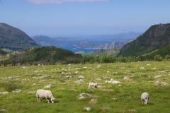 Луг фьорда и овцы 010 Стоковые Фотографии RF