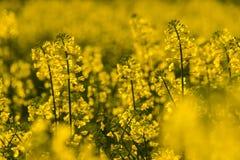 Луг цветений желтого цвета рапса закрывает вверх по весне солнечного света Стоковые Фотографии RF