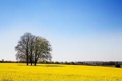 Луг цветка рапса Стоковое Изображение