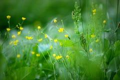 Луг цветка с лютиками Стоковое фото RF