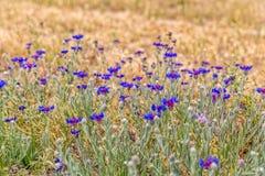 Луг Cornflower в Pasargad Стоковое Изображение RF