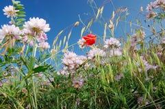 Луг Wildflower полдень, ясные небеса стоковые изображения