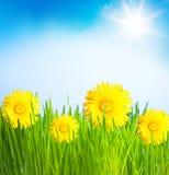 Лужайка весны одуванчиков Стоковые Изображения