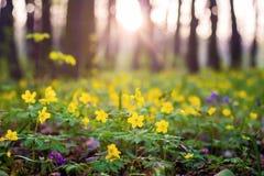 Лужайка в лесе с желтыми цветками ветрениц, которое обильно blossomed_ стоковая фотография rf