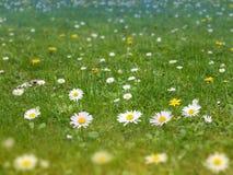 Лужайка зеленой травы с маргариткой и одуванчиком цветет backgro весны стоковые фото