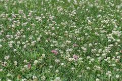 Лужайка клевера Стоковые Фото