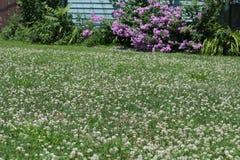 Лужайка клевера Стоковое Фото