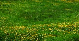 лужайка одуванчиков Стоковое Изображение RF
